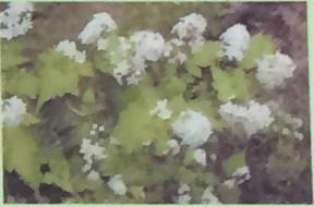 コゴメウツギ バラ科