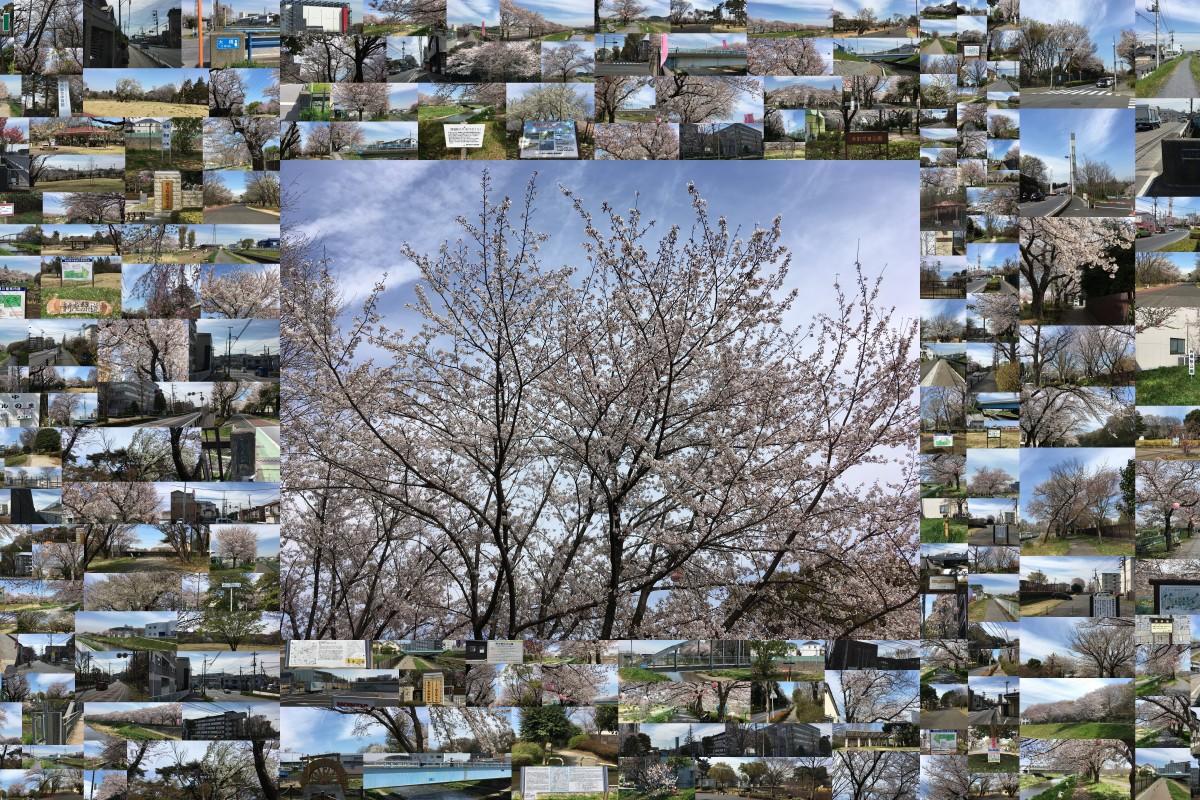 朝霞・和光・新座 サクラをめぐる散歩道 4月5日金曜日