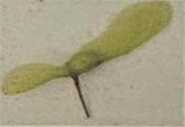 果実は翼果、長さ1.5㎝程度の翼