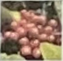 花後に1㎝足らずの果実がたくさん付け、枝になると真っ赤に熟します。