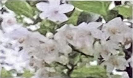 花期は5月頃、横枝から出た小枝の先端に房状に白い花を下向きに多数