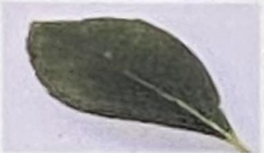 葉は両端のとがった楕円形で互生。