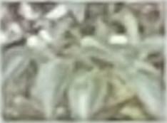 卵形で濃緑色、やや厚くて革のような質感があり表面はツヤツヤとした光沢があります。