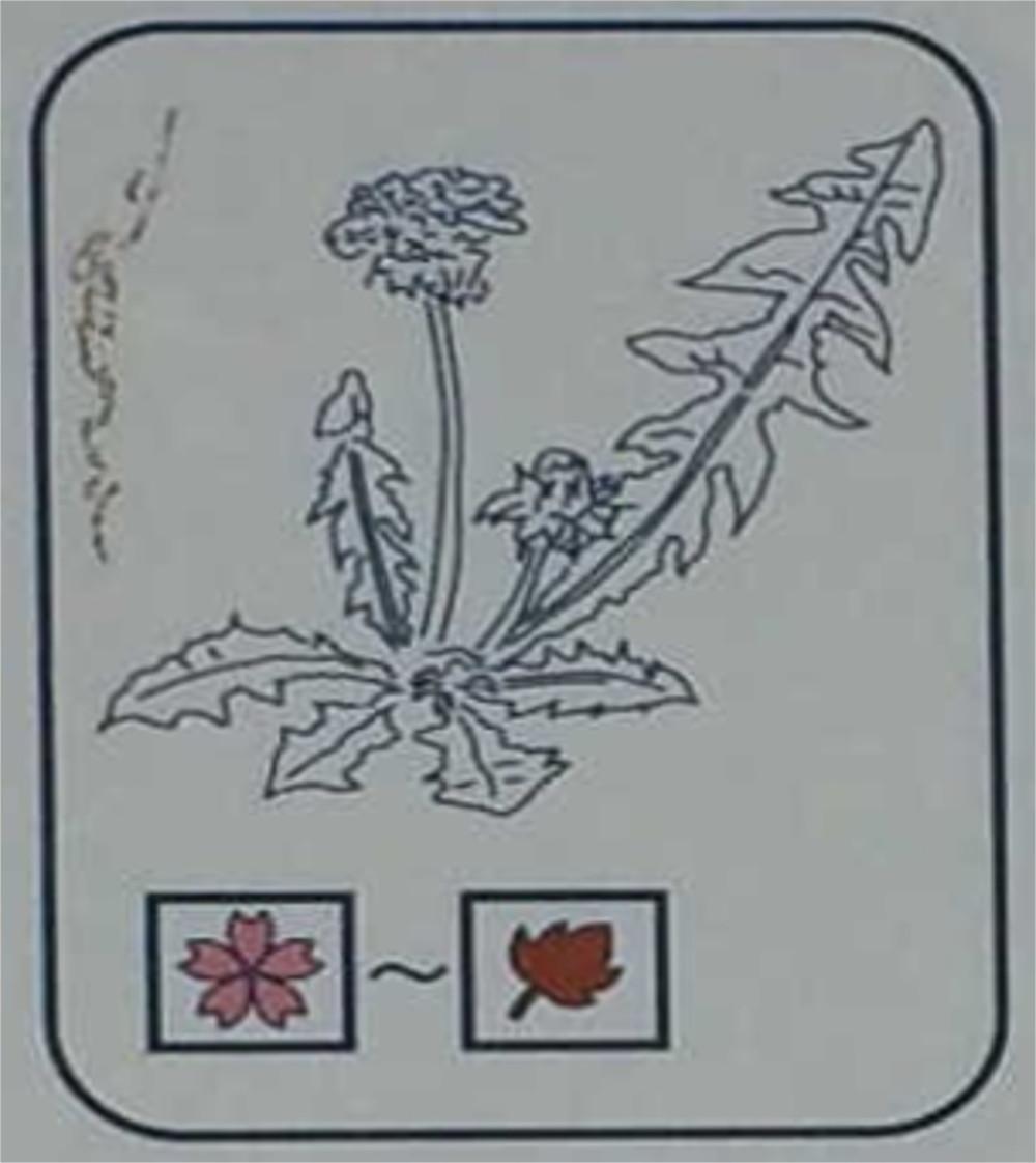 セイヨウタンポポ(キク科)