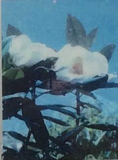 タイサンボク(Grand Magnolla)