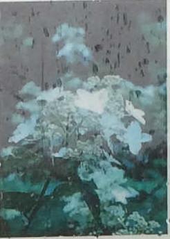 ノリウツギ(Panicle hydrangea)