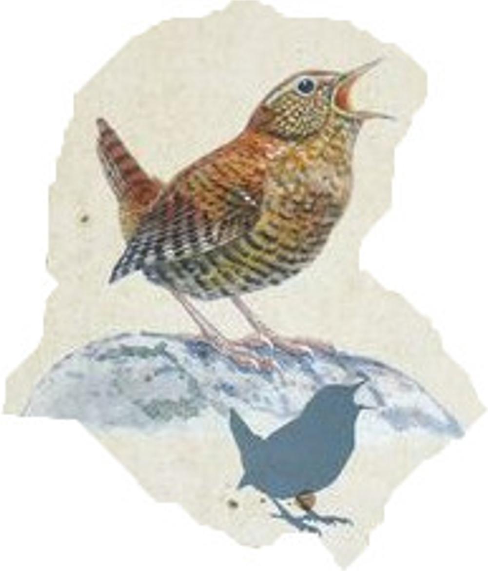 ミソサザイ(留鳥)