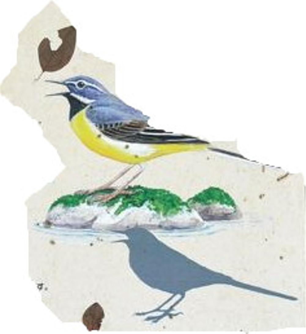 キセキレイ(留鳥)