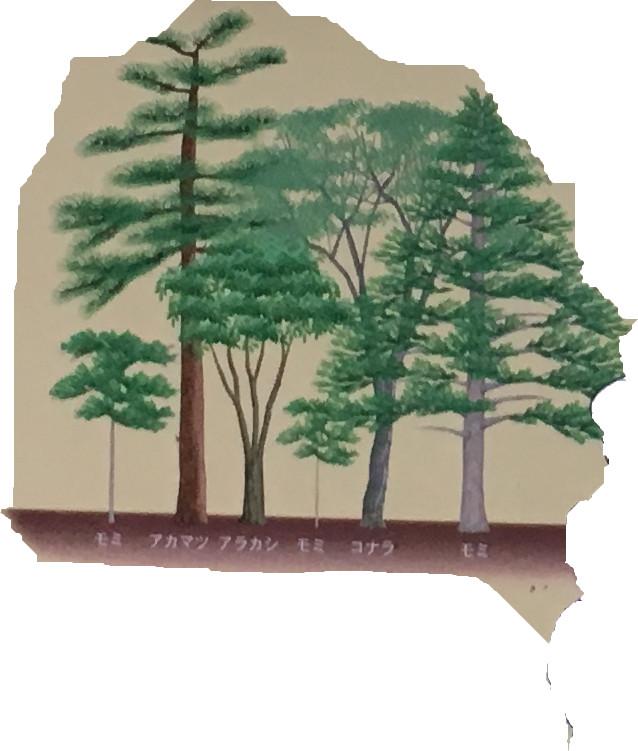 小さなモミは、暗い森でもゆっくりと成長できます。