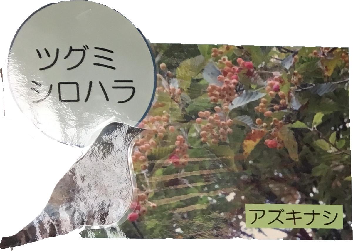 シグミシロハラ アズキナシ
