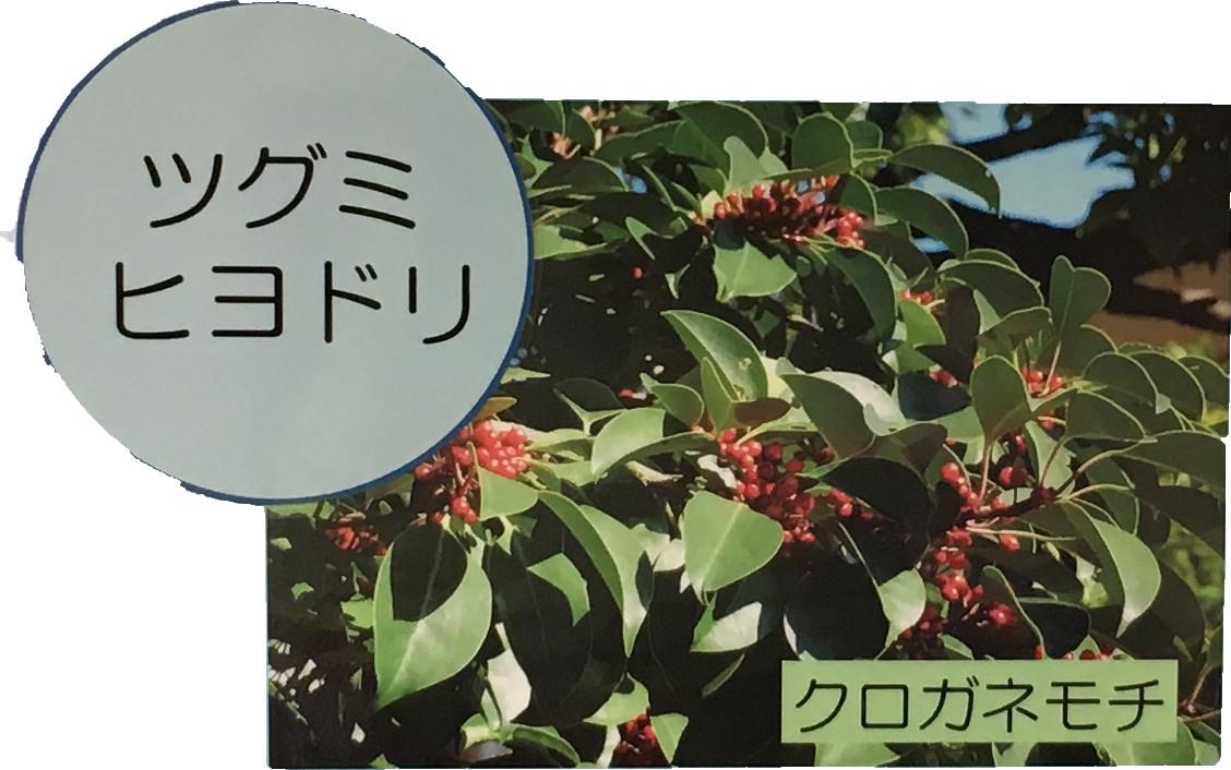 シグミヒヨドリ クロガネモチ