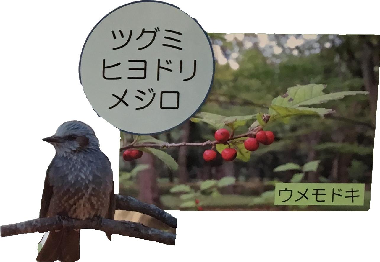 ツグミヒヨドリメジロ ウメモドキ