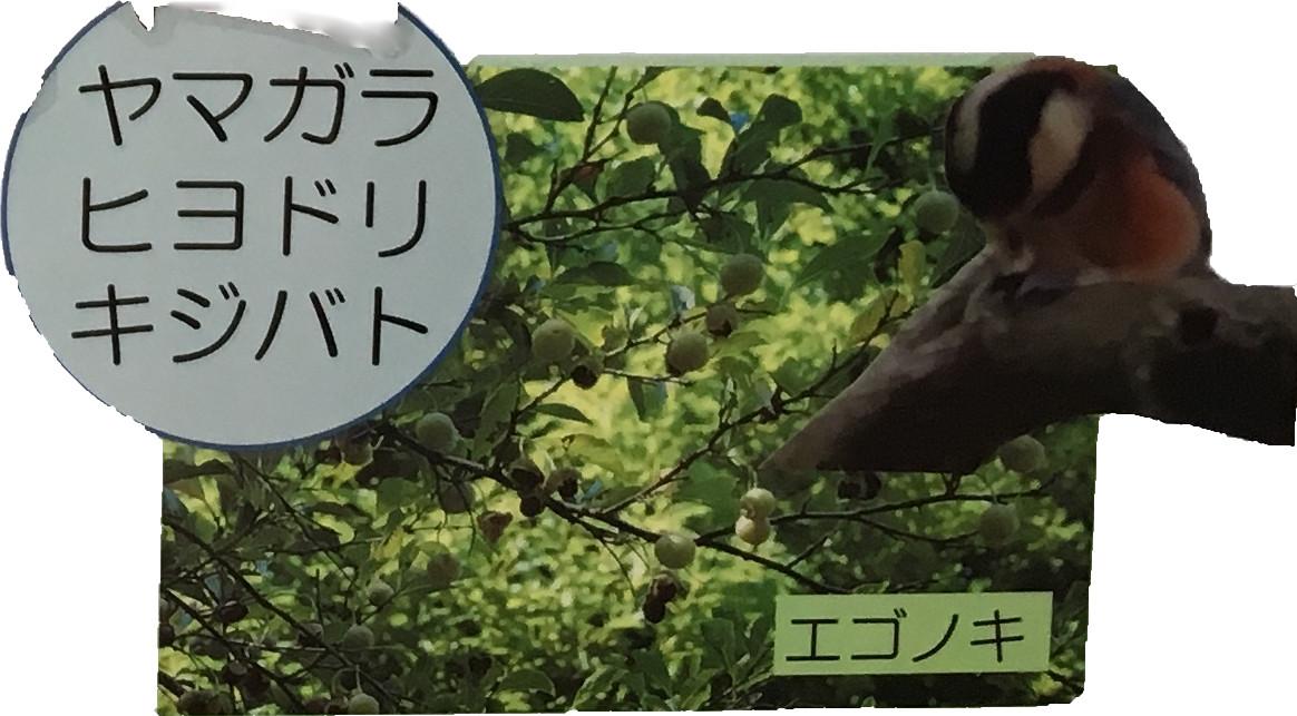 ヤマガラヒヨドリキジバト エゴノキ